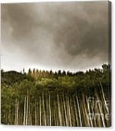 Aspen Trees In Vail Canvas Print