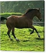 Bay Horse Canvas Print