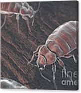 Bed Bugs Cimex Lectularius Canvas Print