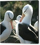 Black Browed Albatross Pair Canvas Print