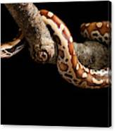 Blood Python Python Brongersmai Canvas Print