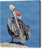 Brown Pelican Preening Canvas Print