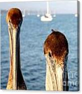 California Pelicans Canvas Print