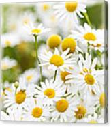 Chamomile Flowers Canvas Print