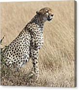 Cheetah Searching For Prey Canvas Print