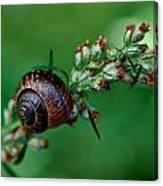 Copse Snail Canvas Print