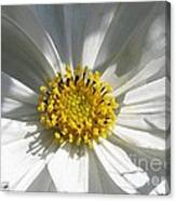 Cosmos Named Sensation Alba Canvas Print