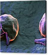 Cryptosporidium Canvas Print