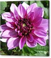 Dahlia Named Blue Bell Canvas Print