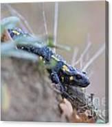 Fire Salamander - Salamandra Salamandra Canvas Print