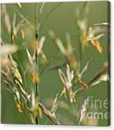 Flowering Brome Grass Canvas Print