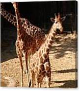 Giraff Canvas Print