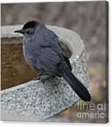 Grey Catbird Canvas Print