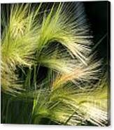 Hordeum Jubatum Grass Canvas Print