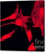 Human Fibroblasts Canvas Print