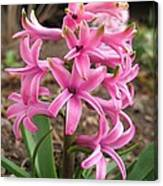 Hyacinth Named Pink Pearl Canvas Print