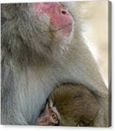 Japanese Macaques Canvas Print