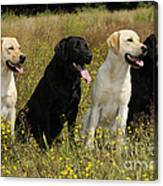 Labrador Retriever Dogs Canvas Print