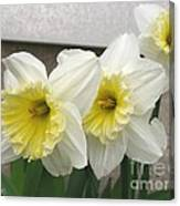 Large-cupped Daffodil Named Ice Follies Canvas Print