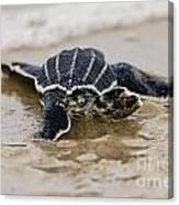 Leatherback Sea Turtle Hatchling Amelia Island Florida Canvas Print