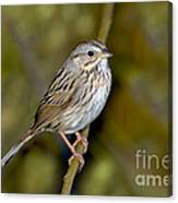 Lincolns Sparrow Canvas Print