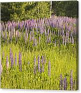 Maine Wild Lupine Flowers Canvas Print
