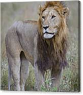 Male Lion Canvas Print
