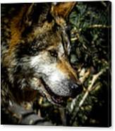 Mexican Grey Wolf Canvas Print