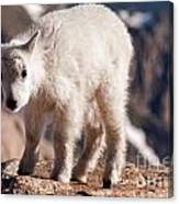 Mountain Goat Kid On Mount Evans Canvas Print