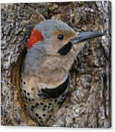 Northern Flicker In Nest Cavity Alaska Canvas Print