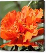 Portulaca Named Sundial Tangerine Canvas Print
