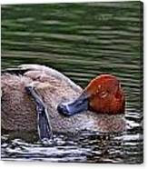 Redhead Duck Canvas Print