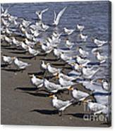 Royal Terns On The Beach At Indialantic In Florida Canvas Print