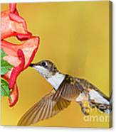 Ruby-throated Hummingbird Female Canvas Print