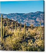 Saguaro Cactus Canvas Print