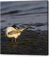 Sandwich Tern Canvas Print