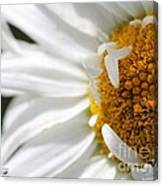 Shasta Daisy Named Paladin Canvas Print
