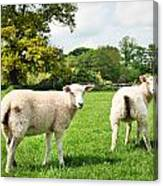 Sheep In Field Canvas Print