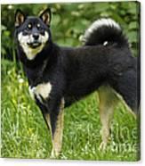 Shiba Inu Dog Canvas Print