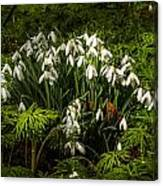Snowdrop Woods Canvas Print