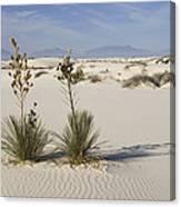 Soaptree Yucca In Gypsum Sand White Canvas Print