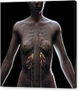 Urinary System Female Canvas Print