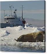Walrus Resting On Ice Floe Canvas Print