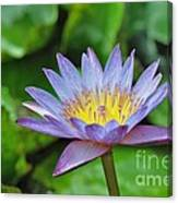 Water Lily 13 Canvas Print