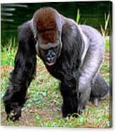 Western Lowland Gorilla Canvas Print