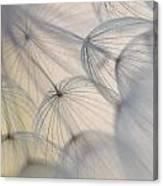 Wiesenbocksbart Canvas Print