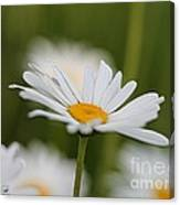 Wildflower Named Oxeye Daisy Canvas Print