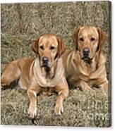 Yellow Labrador Retrievers Canvas Print