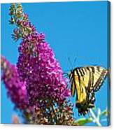 Yellow Tiger Swallowtail Papilio Glaucus Butterfly  Canvas Print