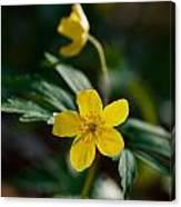 Yellow Wood Anemone Canvas Print